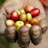 Arabica czy robusta? Razem z Podróżnikami odwiedzamy plantację kawy.